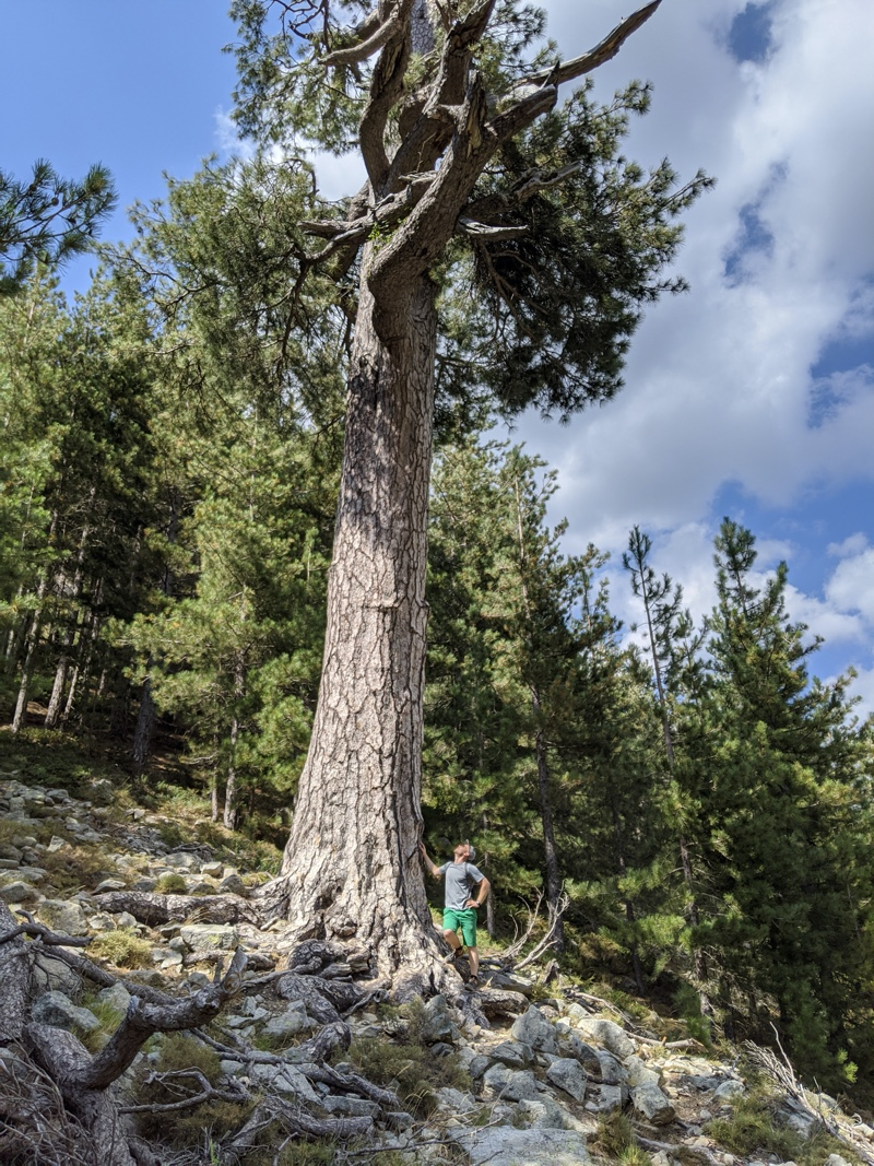 A huge tree in Restonica Valley, Corsica